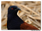 Greater Coucal(Centropus sinensis)_DD34186