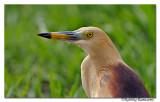 Indian Pond-heron (Ardeola grayii)_DD34495