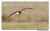Black-winged Stilt (Himantopus himantopus)_DD34504