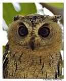 Collared Scops Owl_DD34671