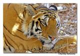 Tiger-3073