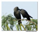 Crow whispring-4335