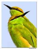 Green Bee Eater(Merops orientalis)