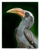 Malabar Grey Hornbill(Ocyceros Griseus)