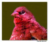 Red Munia(Red Avadavat.)