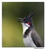Red-whiskered Bulbul( Pycnonotus jocosus)