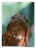 Srilankan-Frogmouth(Batrachostomus moniliger)