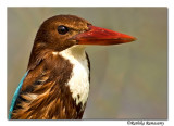 White throated Kingfisher( (Halcyon smyrnensis)