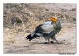 Egyptian Vulture( Neophron percnopterus)-0626