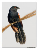 Greater Coucal(Centropus sinensis)-1204