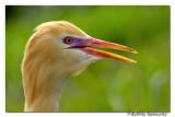 Cattle Egret(Bubulcus ibis)