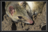 0369 Eastern Quoll