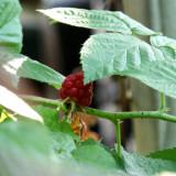 Late Berries.jpg