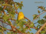 Yellow Warbler in Wild Grape Vines