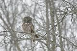 Young Great Great Owl Ontario Winter 2005