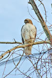 Red Tail Hawk in Evening Light