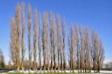 Poplars in Abbey Meadows