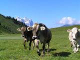 Fast cows...friendly cows?