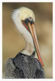 pelican_portrait_2010_01.jpg