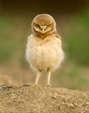 burrowing_owls