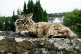 gorgeous French cat