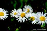 the humble daisy .