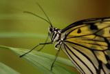 Butterflies in Asia