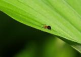 Mini Araignée rouge sur Faux Hellébore