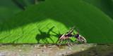 Araignées sauteuses