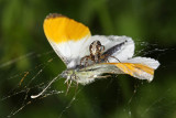 RICH CATCH - SPIDER ON THE BUTTERFLY IMG_0911ok.jpg