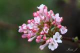 Viburnum carlesii - brogovita (IMG_0052a copy.jpg)