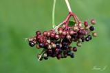 Samblucus adoxacea - Elderberry - bezeg (IMG_1376ok copy.jpg)