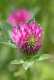Trifolium pratense - red clover - èrna detelja (IMG_9927ok copy.jpg)
