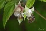 Rubus idaeus - raspberry - malina (IMG_1440ok copy.jpg)