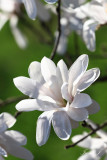 Magnolia (IMG_1680ok copy.jpg)