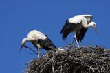 Stork nest (ples copy.jpg)