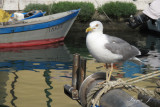 Larus argentatus - herring gull - srebrni galeb ( IMG_1893ok.jpg)