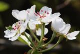 flower of pear  (cvet hruske.jpg)