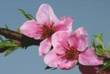 flower of peach (cvetovi breskve ok.jpg)