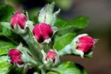flowers of apple (cvetovi jablane2.jpg)