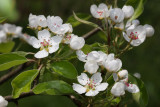 flower of pear (hruska kompo1.jpg)