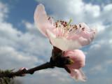 flower of peach (IMG_0187ok.jpg)