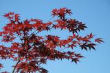 Red Japanese Maple - rdeèi javor (IMG_2516ok copy.jpg)