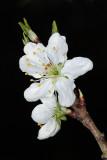 flower of plum - cvetovi slive (IMG_3813ok.jpg)