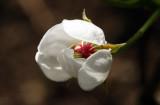 flower of pear - cvetovi hru¹ke (IMG_3886ok1.jpg)