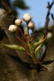 flower of pear - cvetovi hru¹ke (IMG_3969.jpg)