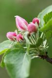 flowers of apple - cvetovi jablane (IMG_4180ok.jpg)