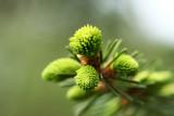 spruce shoots - smrekovi vr¹ièki (IMG_4282ok.jpg)