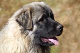 Shepherd dog - ovèar (IMG_6272ok.jpg)
