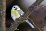 Parus caeruleus - sinica plavèek (cukec.jpg)